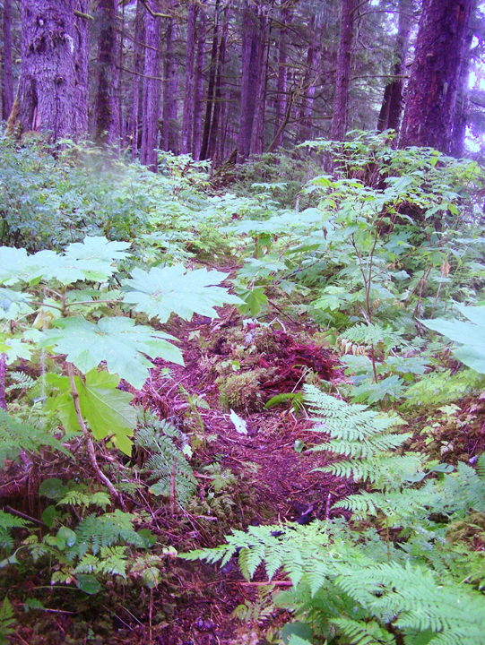 A small trail winds through lush vegetation covering a forest floor with tall trees.