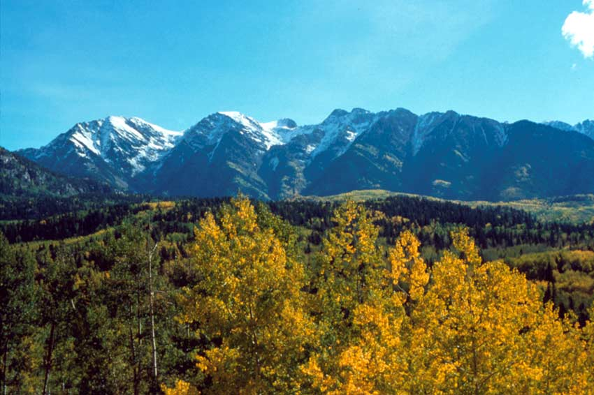 Looking over large golden trees in the foreground, to a forest sprinkled with fall color in the distance. Tall snowcapped peaks rise from the horizon, towards an empty blue sky.