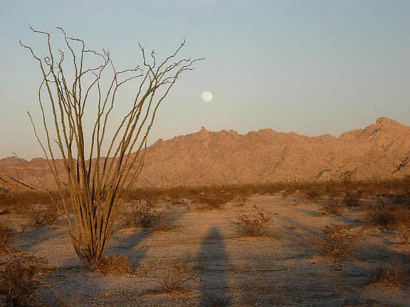 An Ocotillo sits in the foreground of the photo. The plant sprouts out of the ground and shoots out limbs from its base in the dirt. There are no leaves or arms or boughs on this plant. It resembles a giant clump of grass. In the background a mountain range stands under the moon.