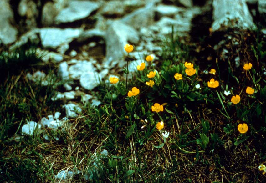 A close-up of several small yellow blossoms, surrounded by green grass and rock fragments.