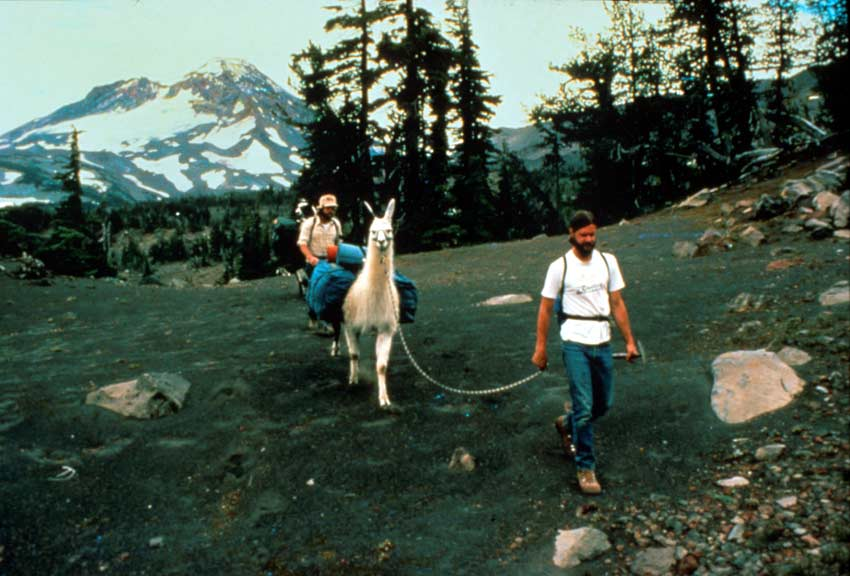 A man leading a white pack llama along an alpine ridge, a large snowcapped peak rising in the background.