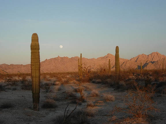 The Cabeza Prieta Mountains sit below the emerging moon. In the foreground are many Saguaro cacti and other desert shrubs.