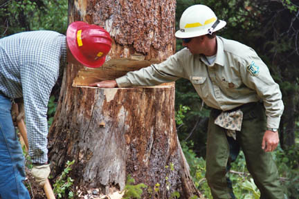 Two agency staff members in hard hats, inspecting a large notch cut into a tree in preparation for removal.