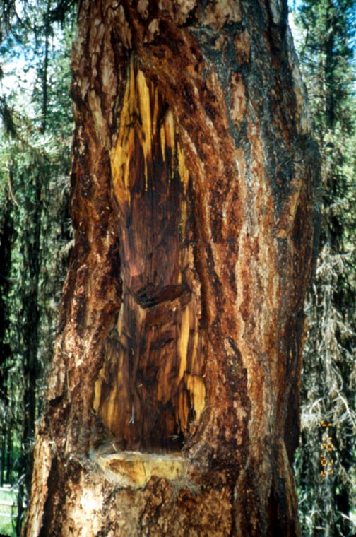A close-up of a large blaze on the trunk of a pine tree.