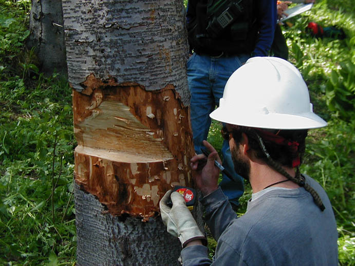 A man in a white hard hat, inspecting a notch cut in a tree in preparation for removal.