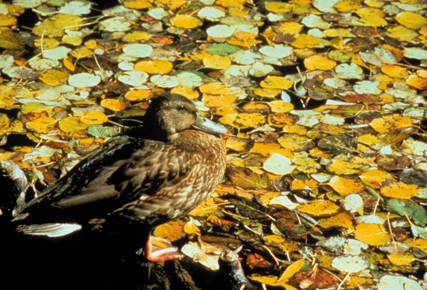 A close-up of a single duck, sitting along the edge of the water, covered in bright yellow leaves.