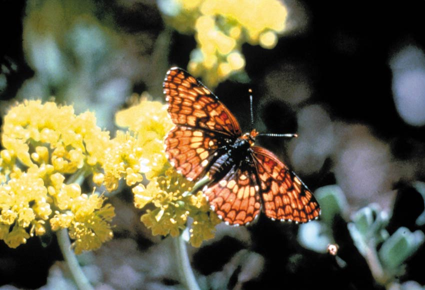 A close-up of a mottled orange butterfly, resting on a small yellow blossom.