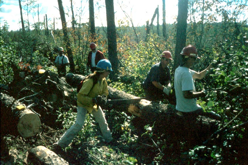 A team of workers using hand saws to clear a large section of windfall trees.