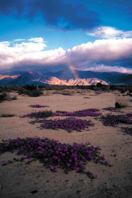 Large patches of low purple flowers on the sand, looking out to a rainbow touching low mountains in the distance, across the desert landscape.