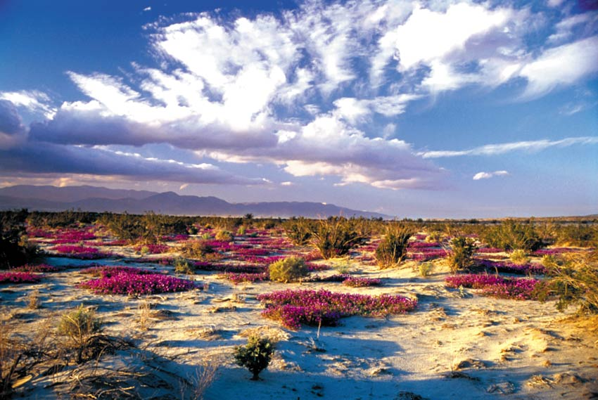 Bright lavender blooms color the desert sand as clouds roll over mountains in the background.