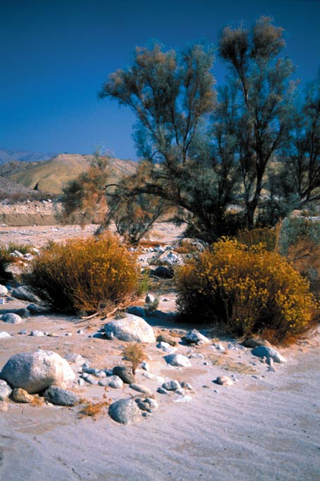 A large brushy tree next to two small yellow bushes, surrounded by white sand and small rocks in a large desert landscape.