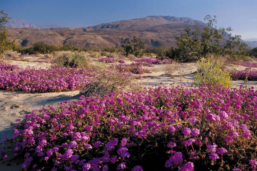 Large patches of low pink flowers, stretching across the sandy landscape towards large hills beyond.
