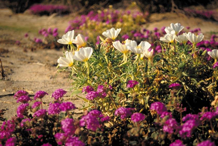 Close-up of lavender sand verbena and white evening primrose blossoms.