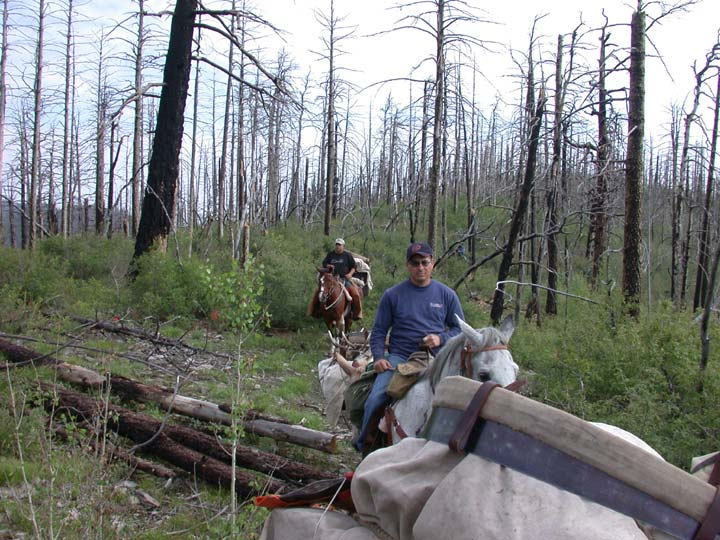 Two people riding in a string of pack horses, traveling through a burned forest with low green brushy re-growth.