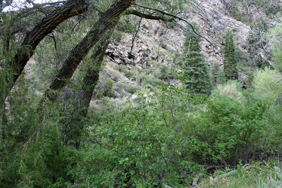 A photo of lush green vegetation along Goshute Creek. The vegetation consists of deciduous trees, shrubs, and coniferious trees.