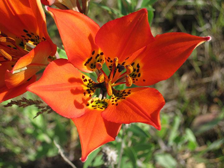 Close-up of a brilliant orange flower