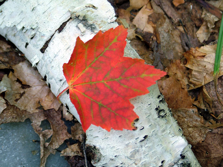 A vibrant red leaf is contrasted against the snow white bark of a fallen Birch on the forest floor.