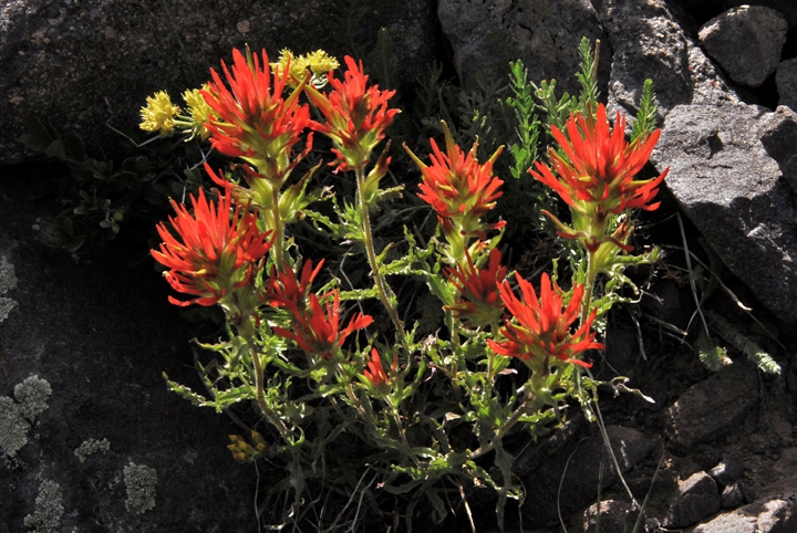 A beautiful orange-red Wavy-Leafed Indian Paintbrush grow in the rocks above timberline.