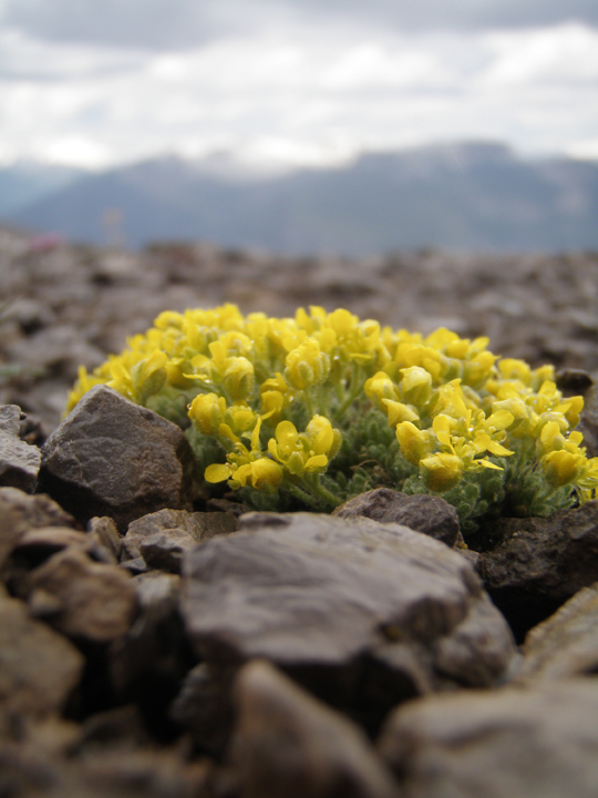A small cluster of yellow flowers grows among the rocks atop a mountain peak.