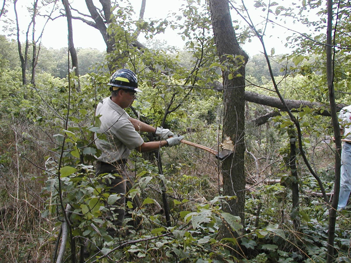 A man in a blue hard-hat chops into a small tree with an axe.