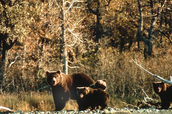 A sow Brown bear and three young cubs on an open gravel bar, with dense forest in the background.