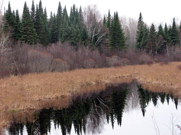 A photo of a november black spruce forest. The Ddense forested area outlines a wetland where the still water mirrors the forest on a cloudy, grey day.