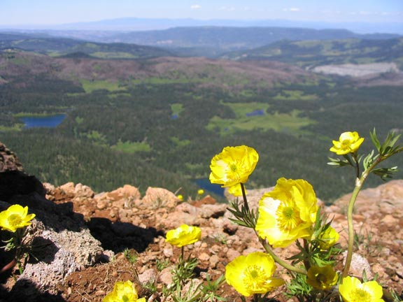 A small cluster of bright yellow flowers growing from the alpine soil, looking out over a forested valley dotted with small lakes, far below.