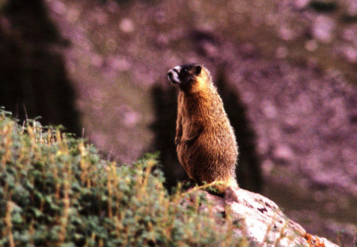 A curious Yellow Bellied Marmot stands up tall to get a better view.