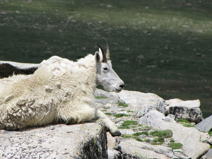 A white mountain goat sits on top of a rock in the sun.