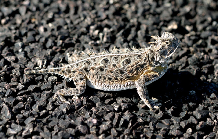 A close up of a small lizard covered in spiky knobs, sitting on black gravel.