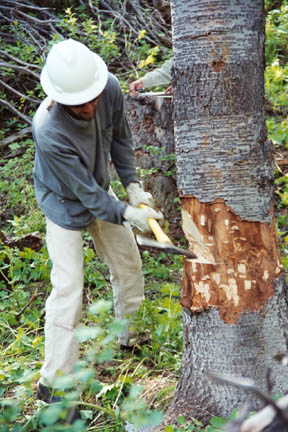 A man in a hard hat, using an axe to clean up a notch cut in a large tree.