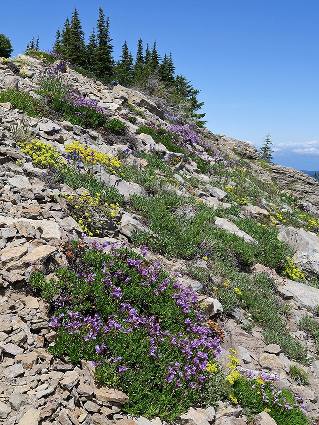 Yellow and purple wildflowers amid rocks