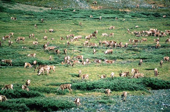An expanse of green tundra, dotted with hundreds of brown and white caribou.