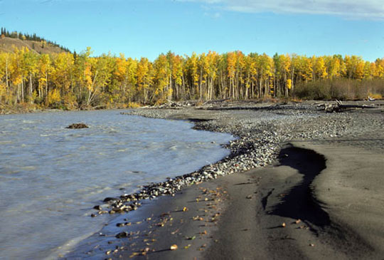 The Gulkana Wild River laps aginst the shoreline, depositing rocks along the rivers edge. The sun ladles warm rays on the yellowing trees beneath the clear, blue sky.