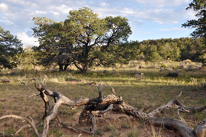 A Pinyon woodland with a large dead branch in the foreground