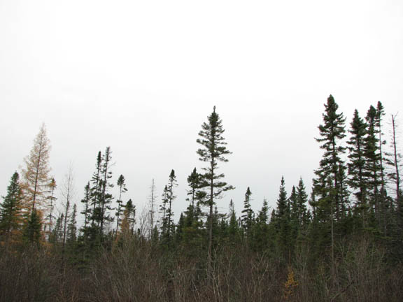 A photo of the balck spruce/tamarack bog. The photo is shot from a low angle and captures the tops of the spruce and the very hazy, grey sky.