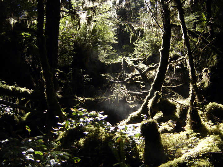 Viewing into the dense, lush green, mossy undergrowth of the temperate rainforest.