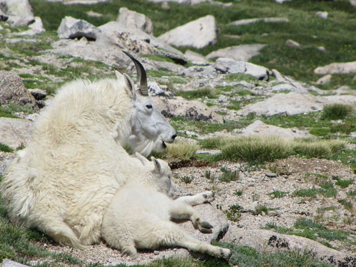 A young mountain goat lays against is mother among the alpine grasses.