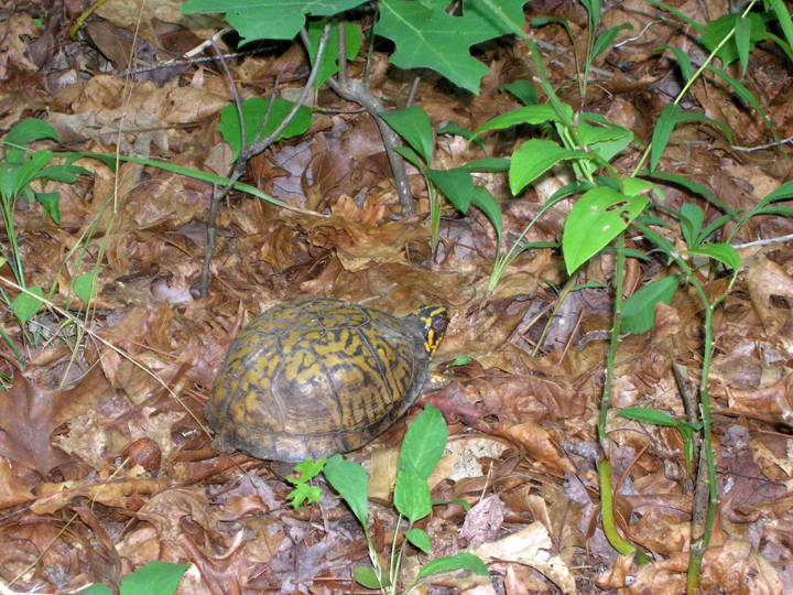 An orange and black turtle sits among the leaves as it peeks out of its shell.