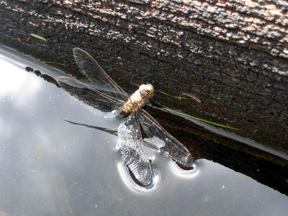 Close-up of a dragonfly perched on a log, one wing barely touching the surface of the water.