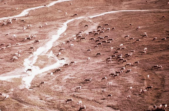 A large group of caribou, feeding across a large expanse of tundra, striped with small drainages.