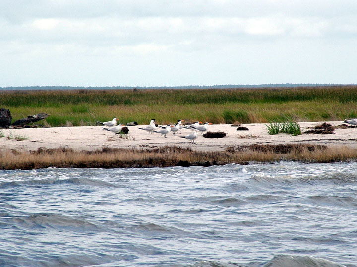 A small group of terns standing on a strip of white sand next to the water, with green marsh grass behind.