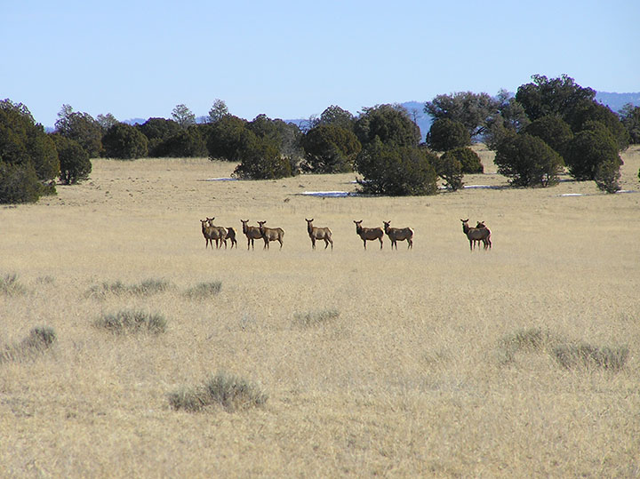 A herd of elk stand in a clearing of brown grass.