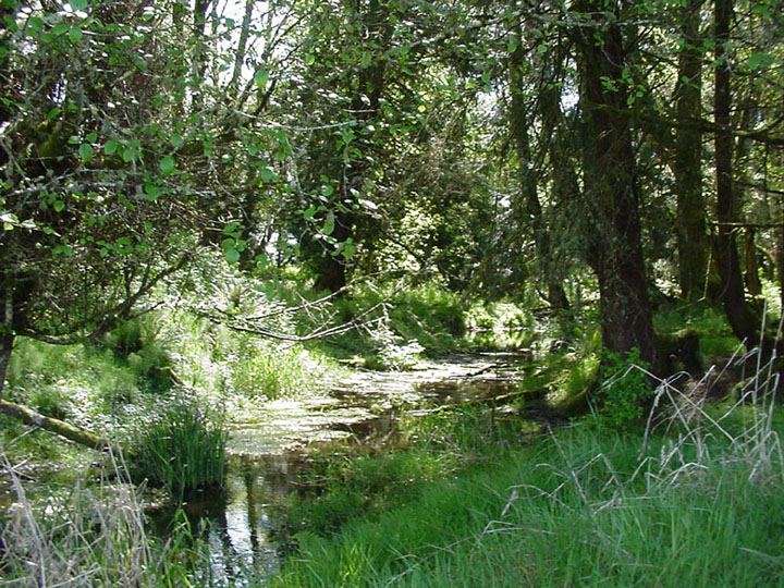 A small slough, nestled in lush green forest undergrowth.