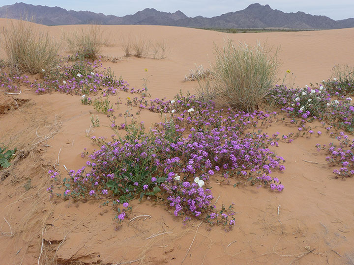 Low plants with small purple flowers blanket a sand dune