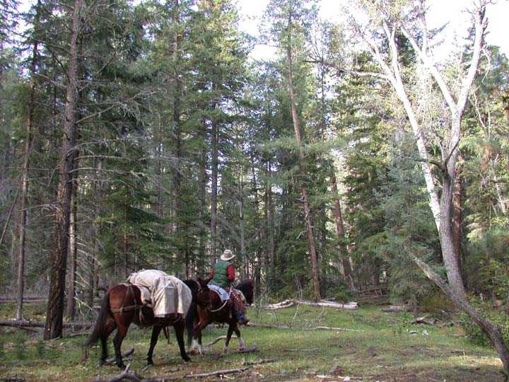 A man in a cowboy hat leading two brown pack horses through an open forest.