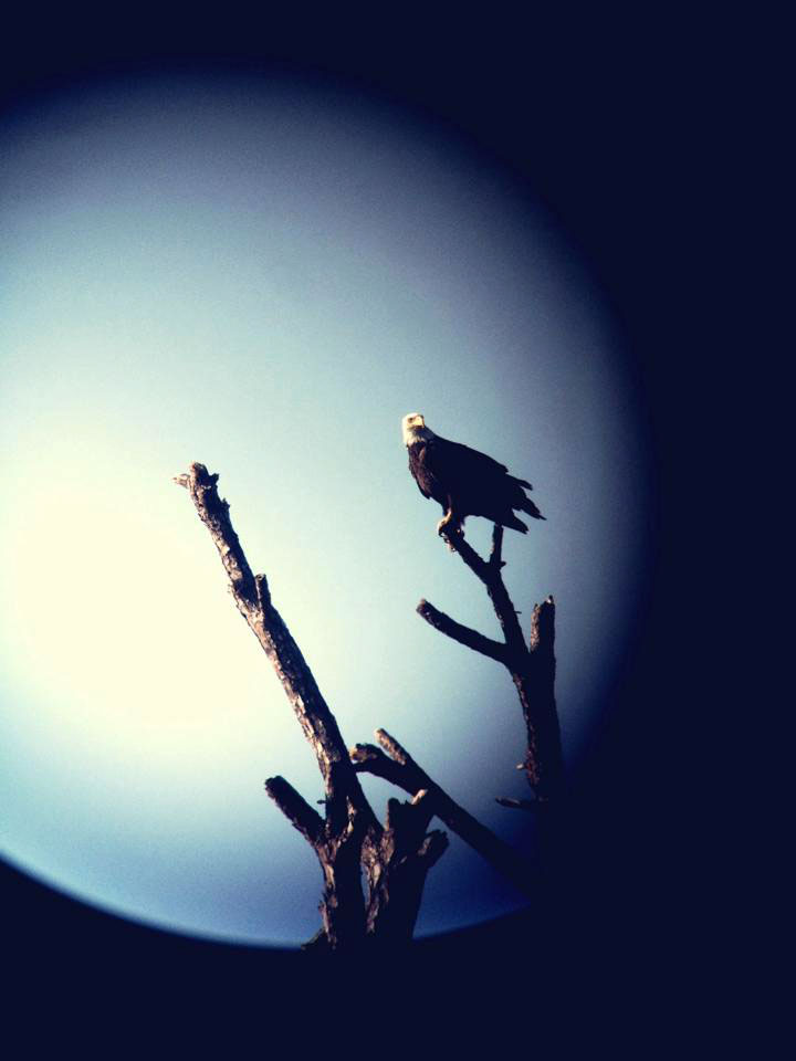 Southern Bald Eagle perched on a dead snag in the moonlight