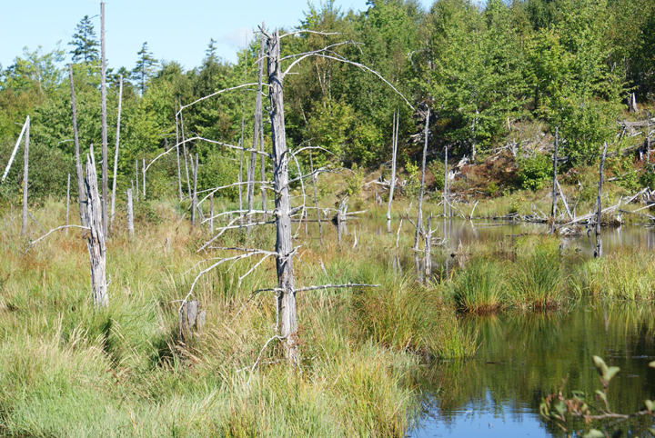 Dead trees stand in a swampy area next to a lake.