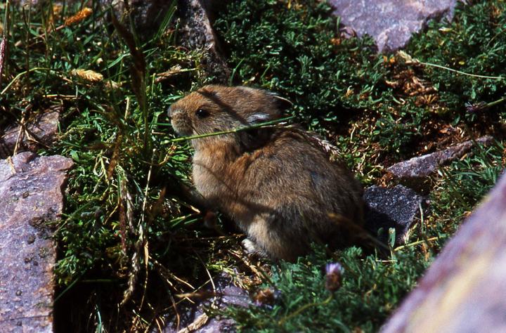 A Pika or Rock Rabbit hiding among the alpine vegetation and rocks.