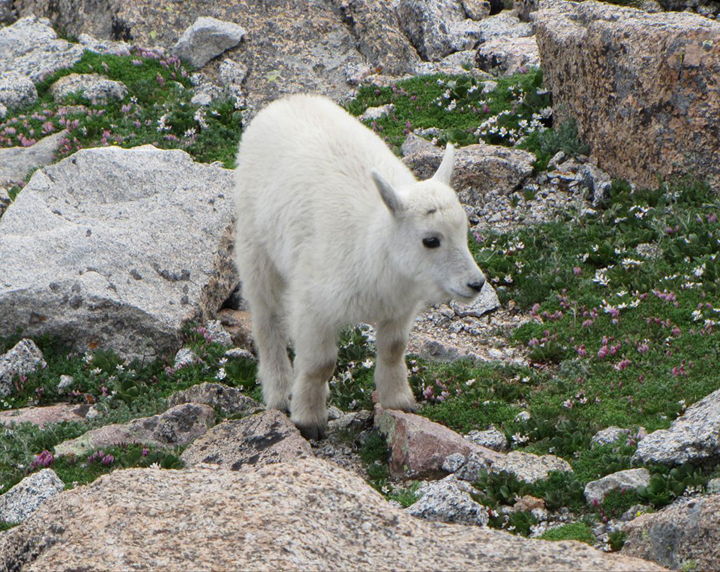 A young, pure white, mountain goat walks among rocks surrounded by purple alpine flowers.